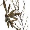 Verbascum adenanthum