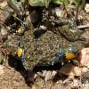 2009: Bombina variegata (Жолт мукач) сликана во околината на Трескавец