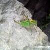 Јуни 2014: Leptophyes albovittata сликан во околината на Трескавец
