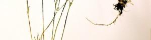 7 јуни 1971: Мариоски плускавец пронајден на Маркови Кули, дел од колекцијата на ботаничкиот факултет во Љубљана